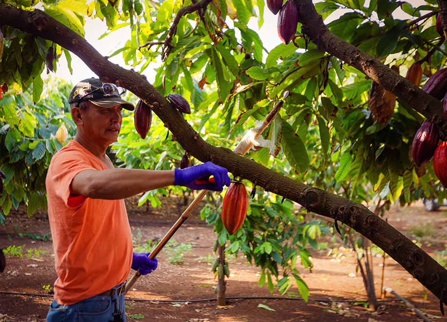 Harvesting Hawaiian Cacao