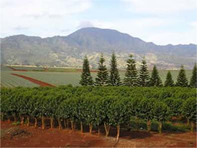 Mount Ka'ala coffee fields