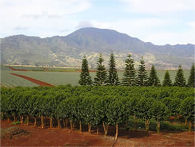 Waialua Estate Coffee Fields